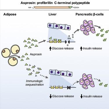 asprosin